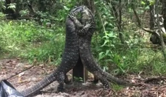 Duking it Out: Lace lizards of Oz! Amazing video shows two giant reptiles in a fierce battle