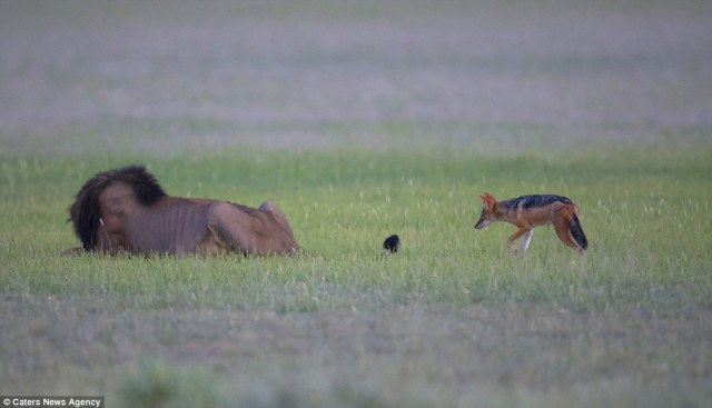 The bold and brave Jackal: Scavenger sneaks up behind a lion and bites its TAIL