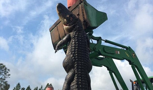 800lb Cow Killer Retired!!! Hunters catch and kill 15ft, 800lb alligator that was eating cows on their farm