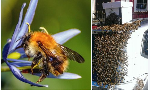 Saving their queen: Loyal Swarm of bees follow woman's car for over 24 hours attempting to rescue their queen