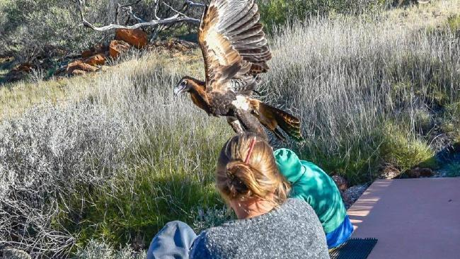 A huge wedge-tailed eagle swoops down and tries to DRAG OFF a seven-year-old boy at Alice Springs Desert Park in Central Australia.