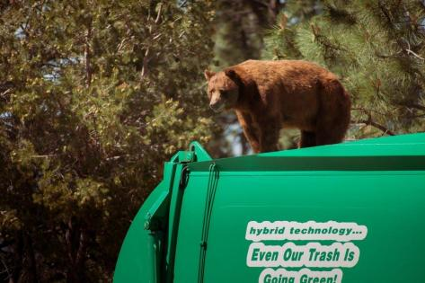 odd-bear-rides-garbage-truck (1)