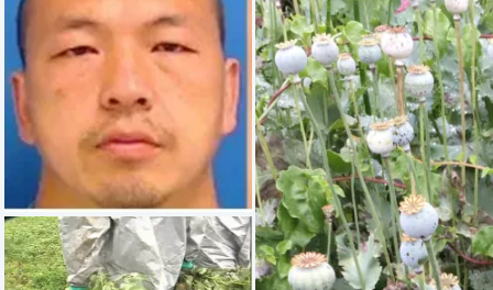 Fields of opium:  Poppy farm with plants worth up to $500 million – charge farm owner, Cody Xiong, with manufacturing and trafficking by possession